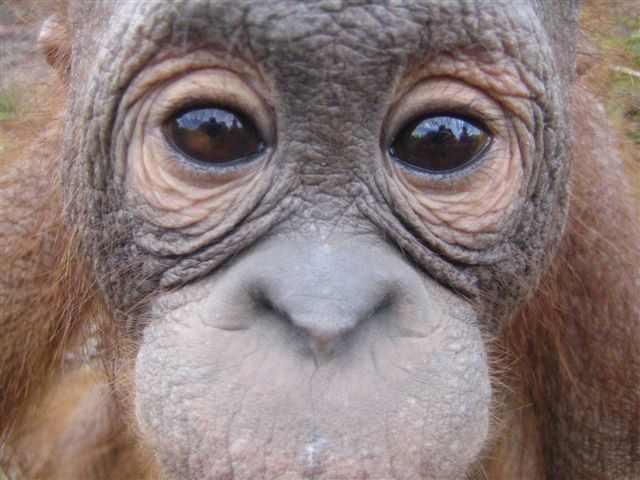 Rosa -orangutan eyes