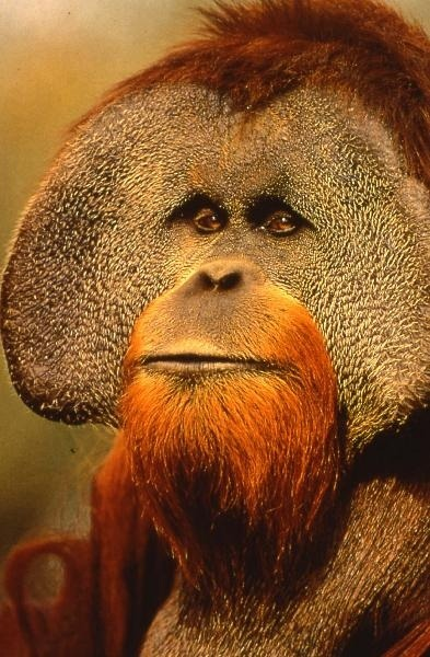 Adult Male Sumatran Orangutan