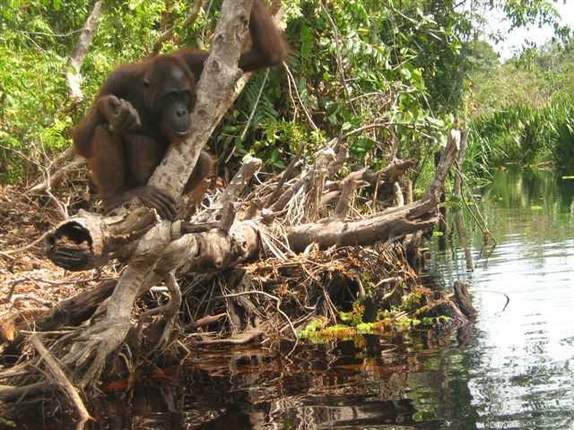 Zidane - male Bornean orangutan