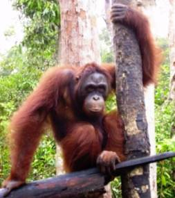 Bornean orangutan called Newman