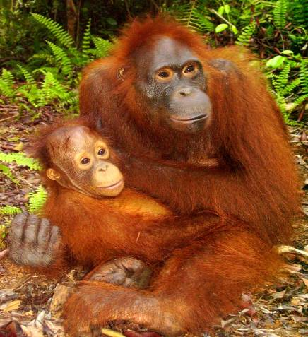 Bornean Orangutan Amoi and her adopted son, Richard