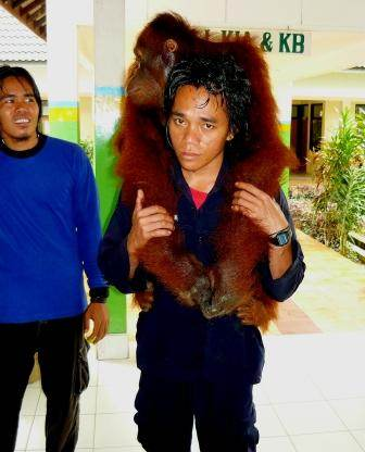 Orangutan Lady Di - being reassured by Pak Dian
