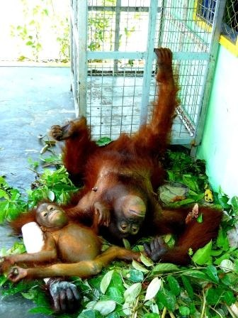 Bornean Orangutan - Lady Di (left forearm in plaster) and her infant.