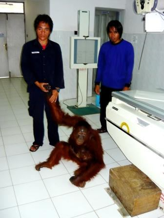 Orangutan, Lady Di awaiting x-ray of broken arm