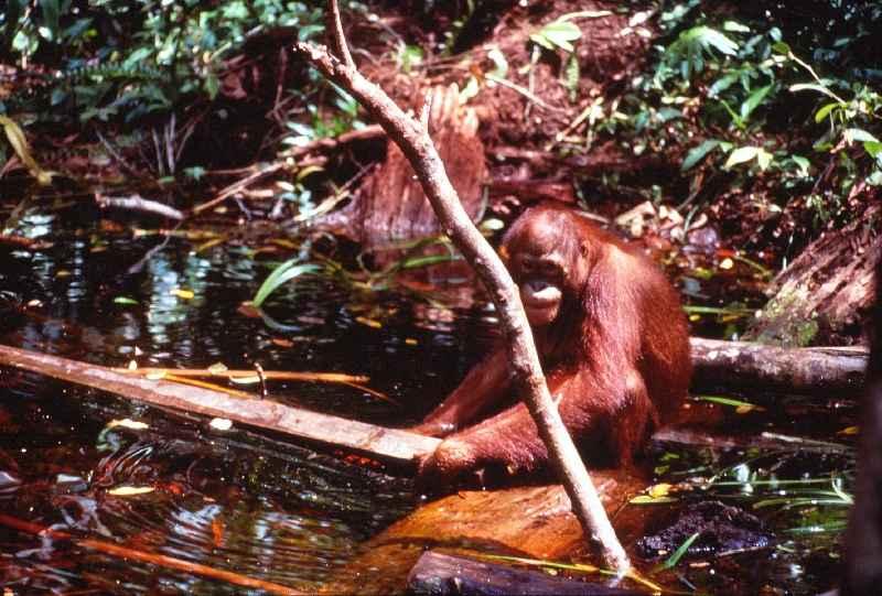 Orangutan in water