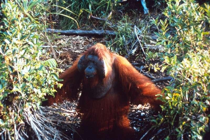 orangutans in swamp
