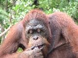 Male Orangutan Wookie