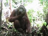 Male orangutan Omang