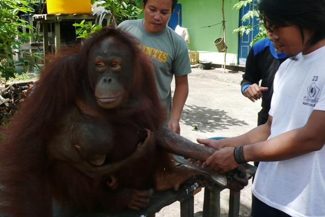 Bornean female orangutan -just having had her bandaged removed