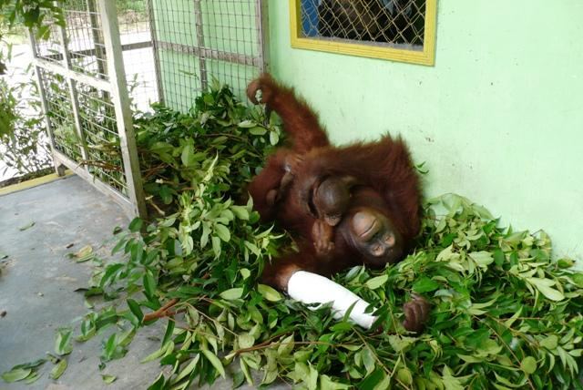 Bornean Female orangutan with infant - on the mend