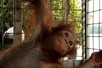 Brian Orangutan