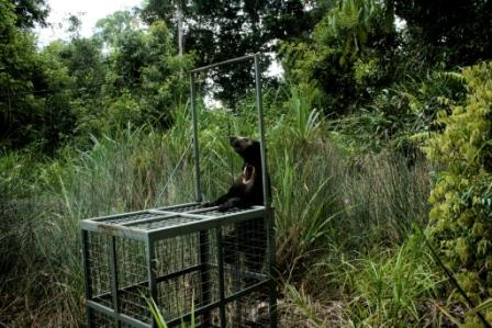 Sun bear by cage