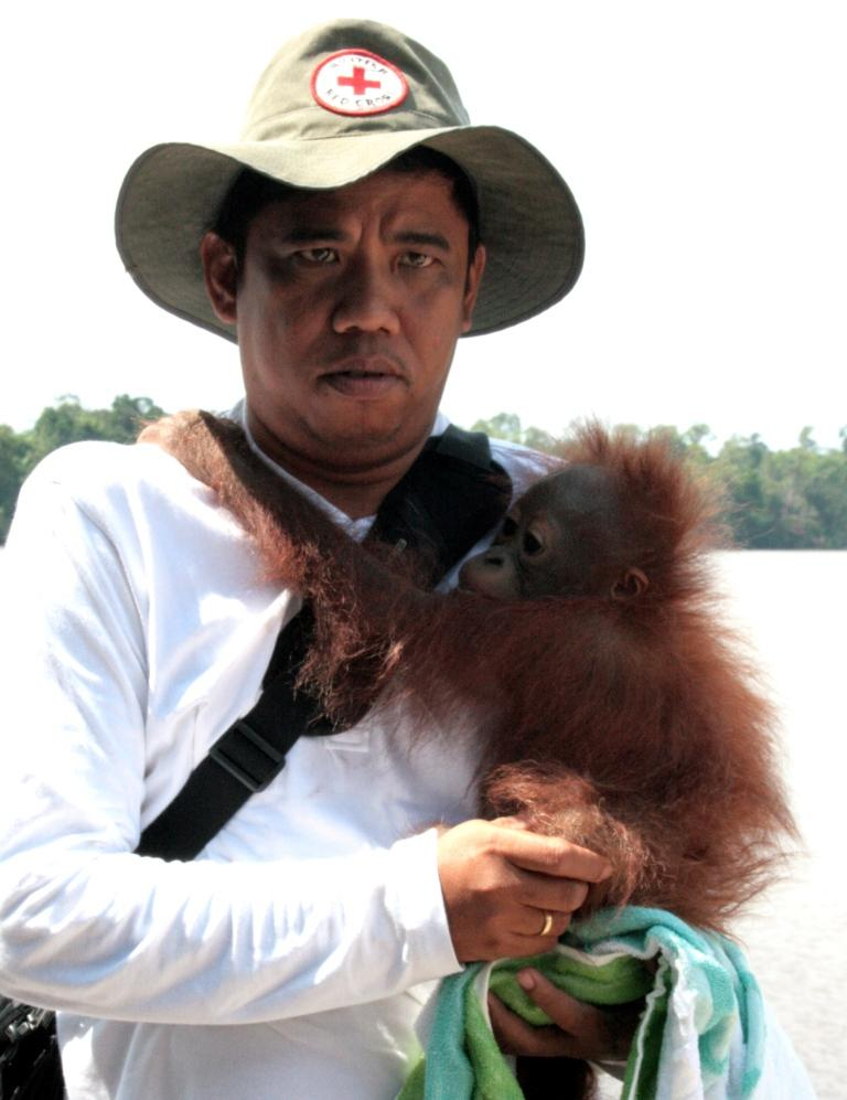 Tigor with orangutan Brian