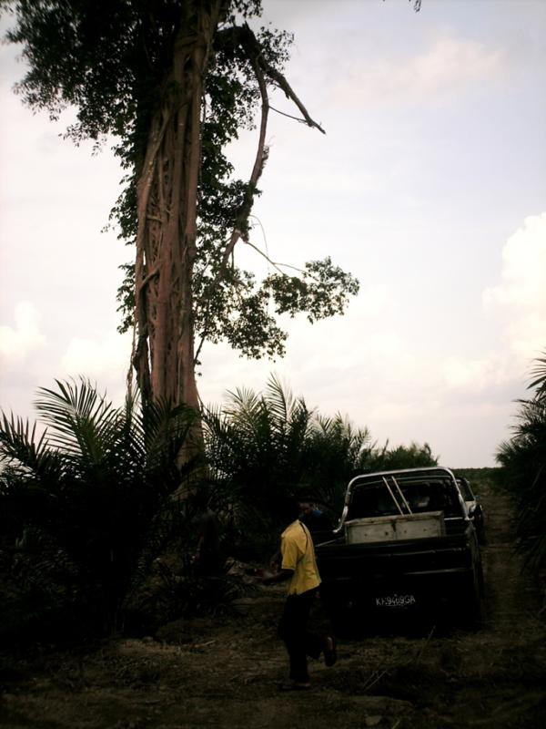 Stranded orangutan in tree
