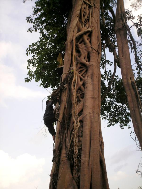 OF staff clim tree to rescue orangutan