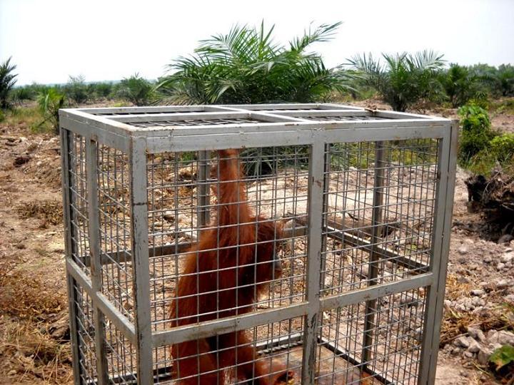 Orangutan rescue succeeded