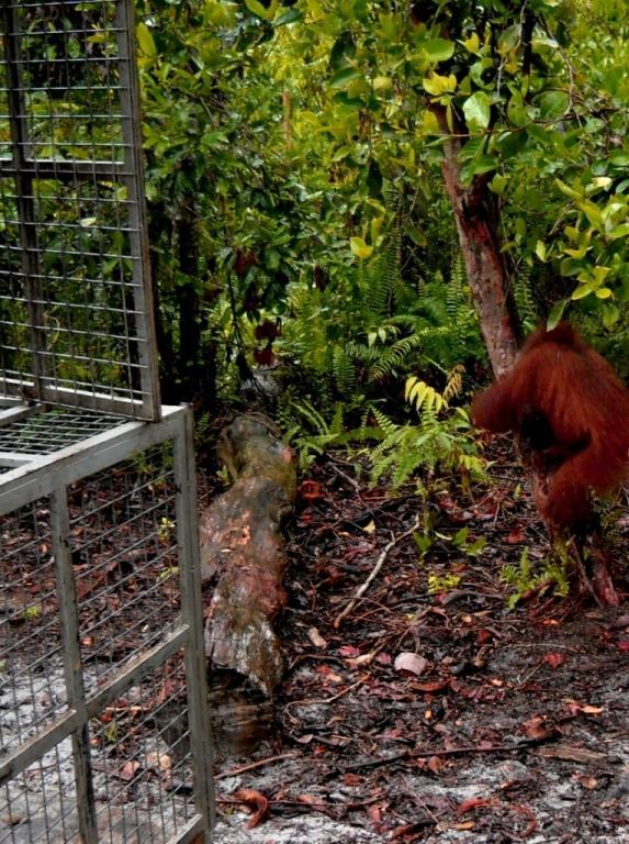 Orangutan climbing tree in Lamandau