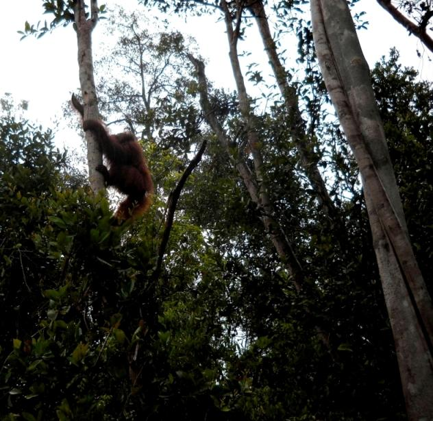 Orangutan, Memes, in the forest.
