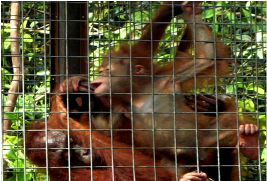 Brian and Rosa -Bornean orangutans