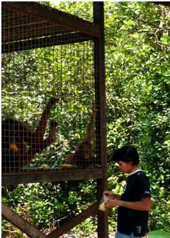 Brian and Rosa - Bornean orangutans