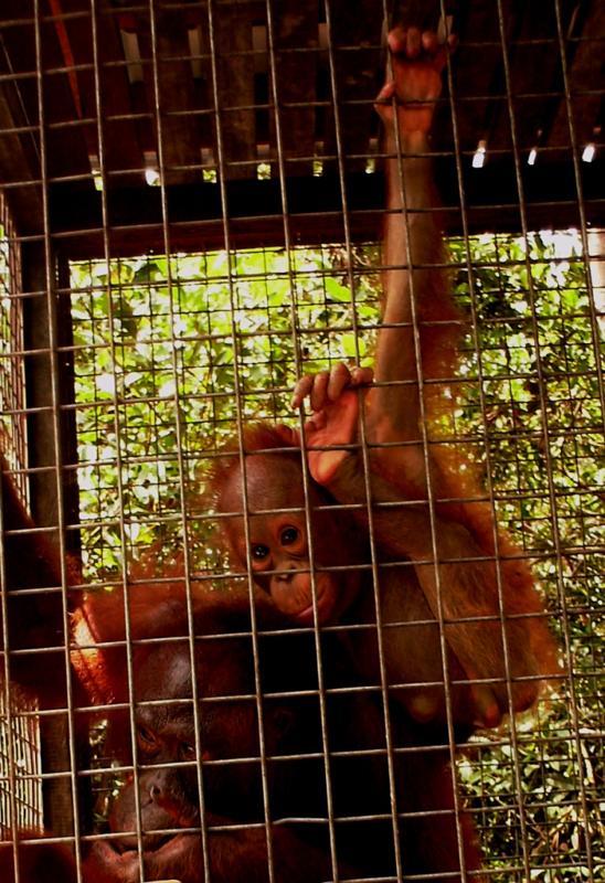 Orangutans Adoption -Rosa and Brian