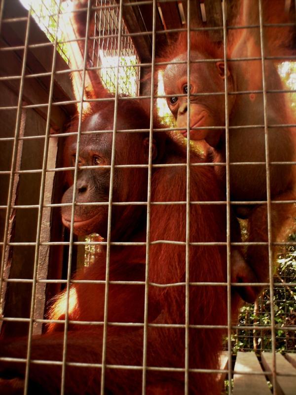 orangutan adoption 2 - Rosa and Brian