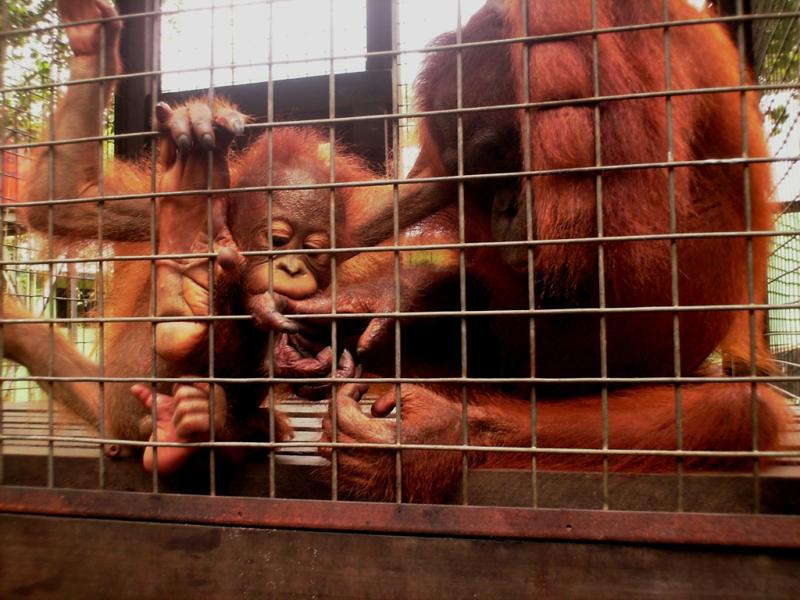 orangutan adoption - Rosa and Brian interaction