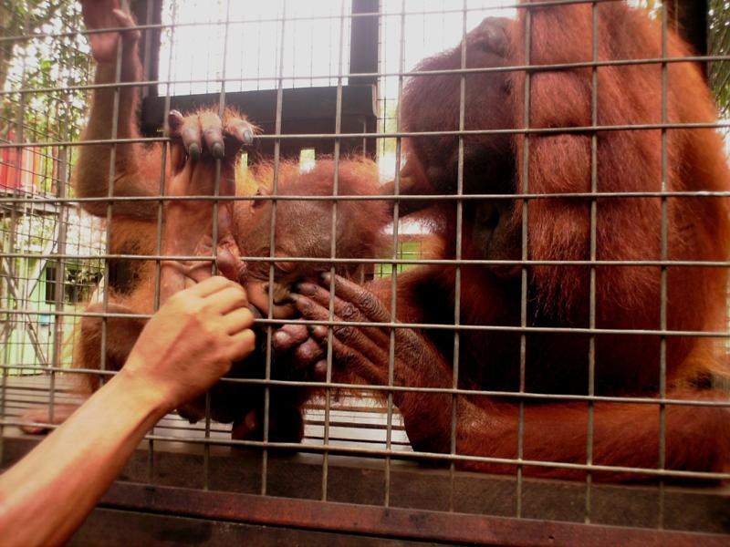 Orangutan adoption - Rosa and Brian