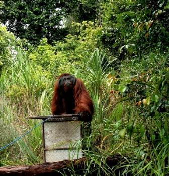 Translocation of male Bornean orangutan