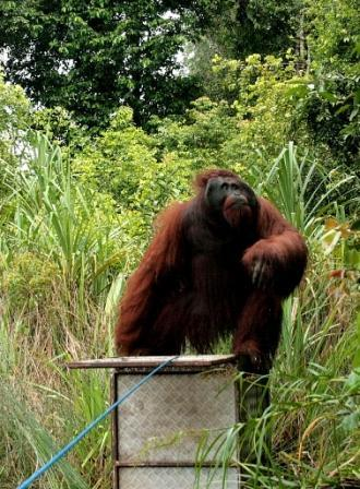 Translocation male Bornean orangutan