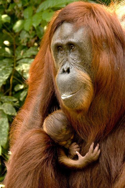 Newborn orangutan twin