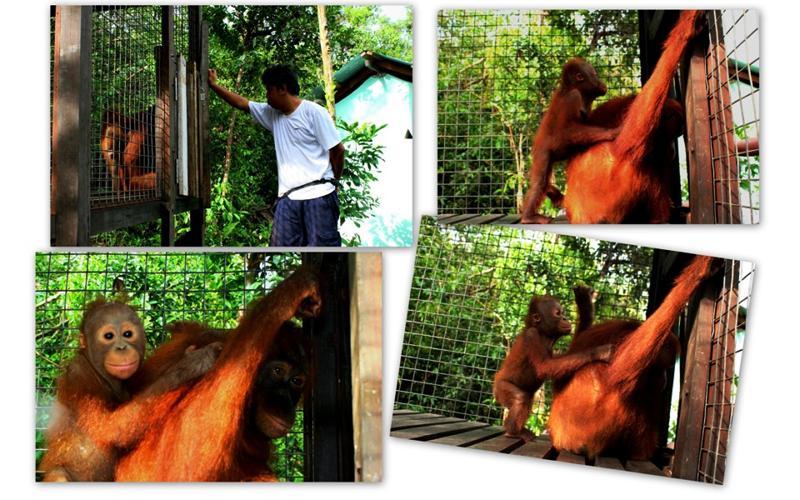 Orangutan Brian awaiting release in Lamandau reserve