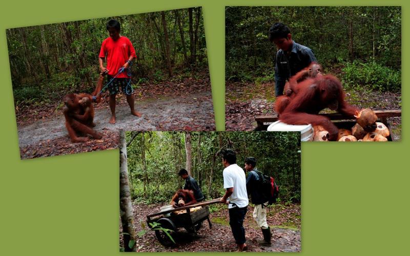 Orangutans with coconuts