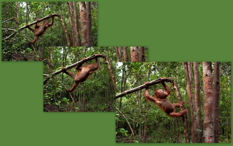 Orangutan Brian climbing