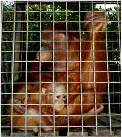 Brian and Rosa - orangutan adoption