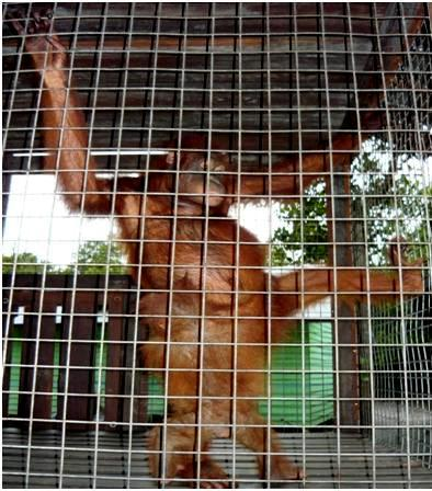 Brian and Rosa -orangutan adoption
