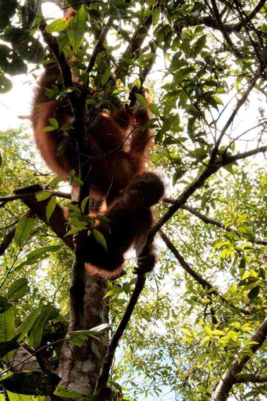 """Infant orangutan Brian climbing whilst being closely watched by his """"new"""" mother"""