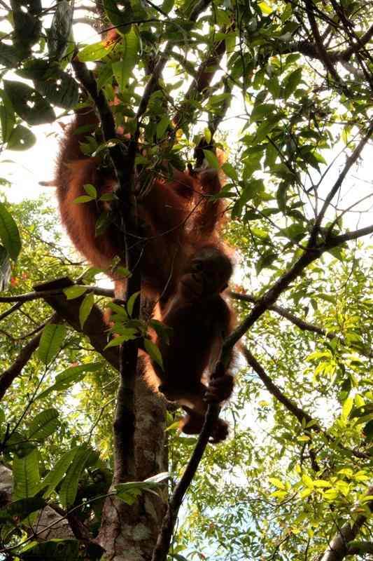 Infant orangutan Brian exploring