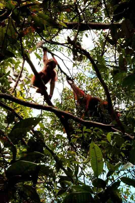 Adopted baby orangutan Brain with mother Rosa