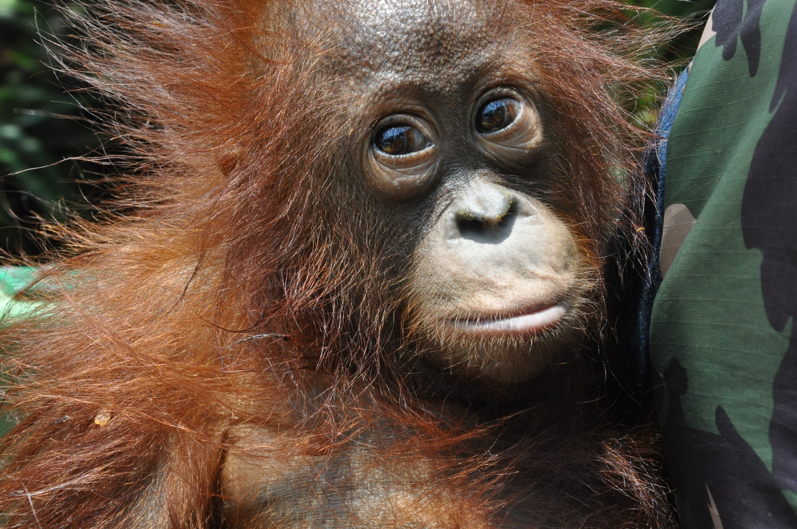 Joson, 4 year0ld  rescued orangutan