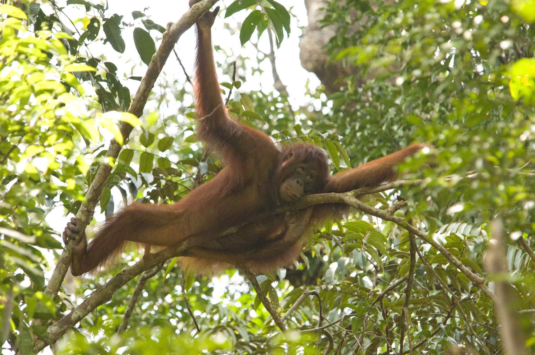 Bornean orangutan by Ian Wood