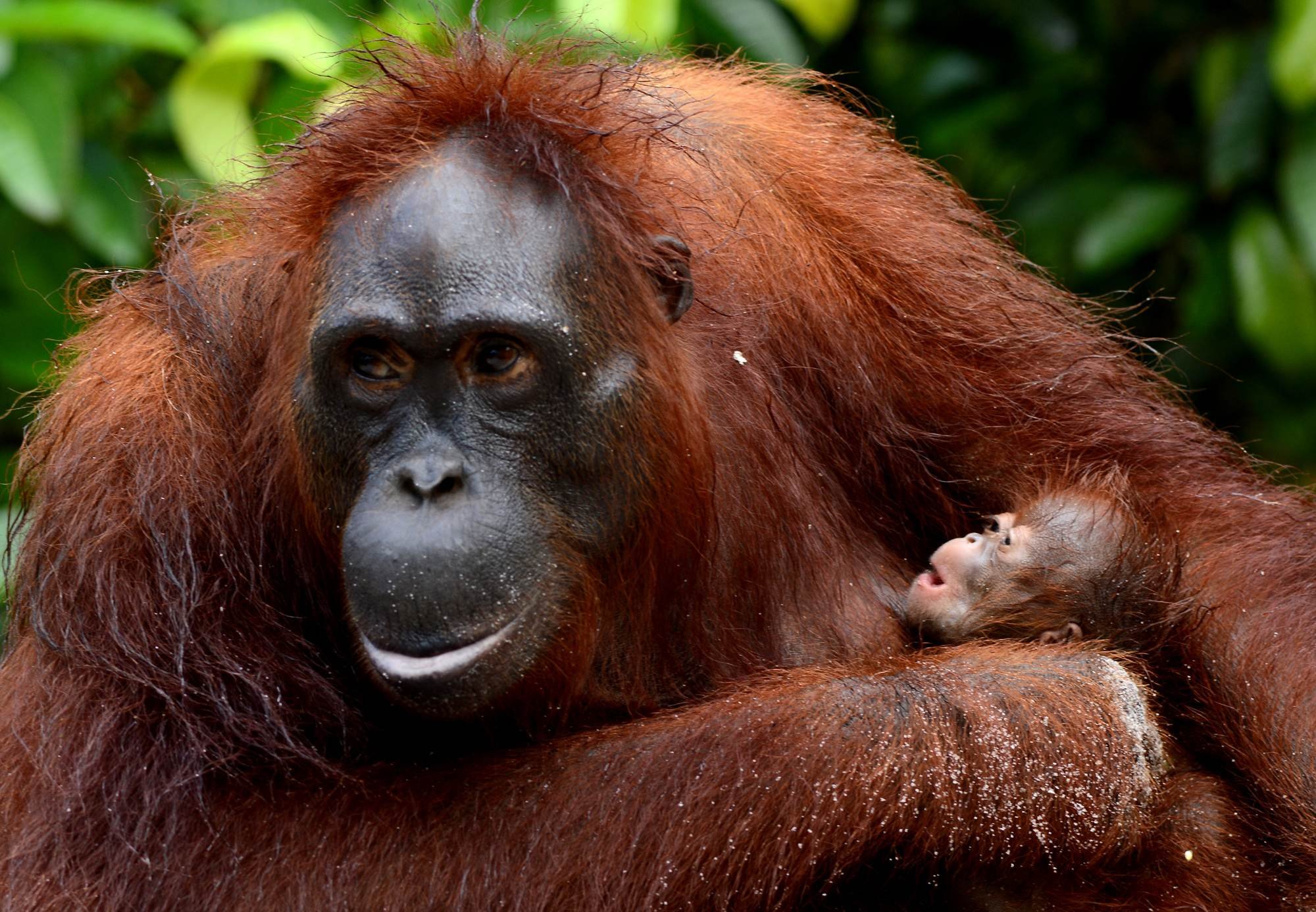 Female orangutan, Amoy, with newborn Alex. Photo by Orangutan Foundation