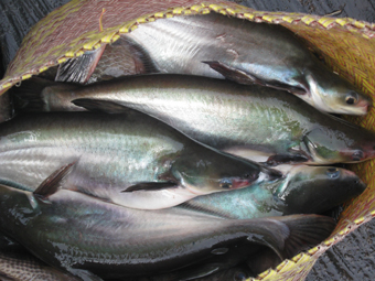 These are the 'patin' fish that are very good to it.