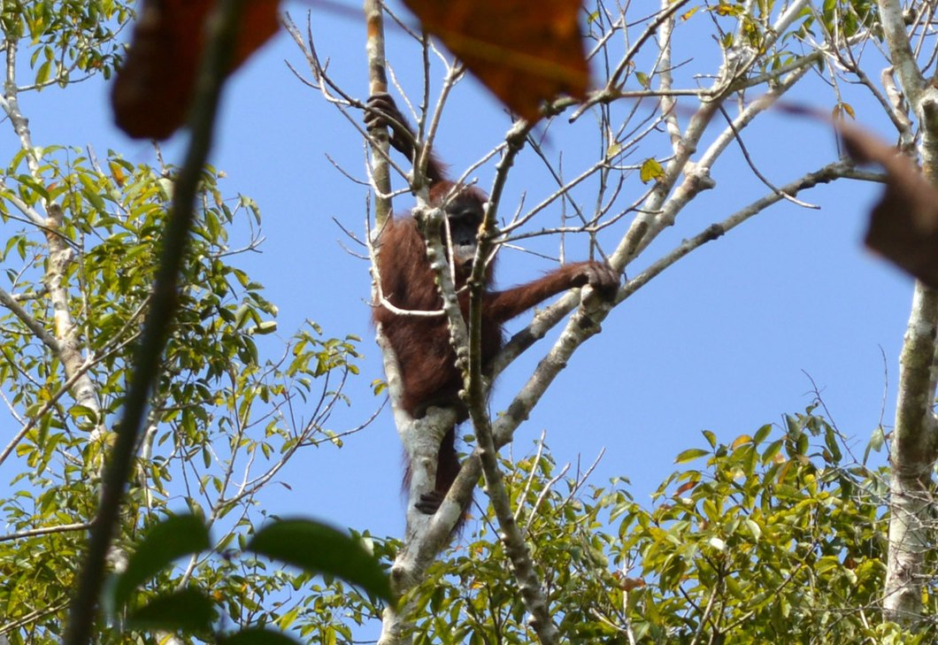 Orangutan high up in tree. Photo by Orangutan Foundation