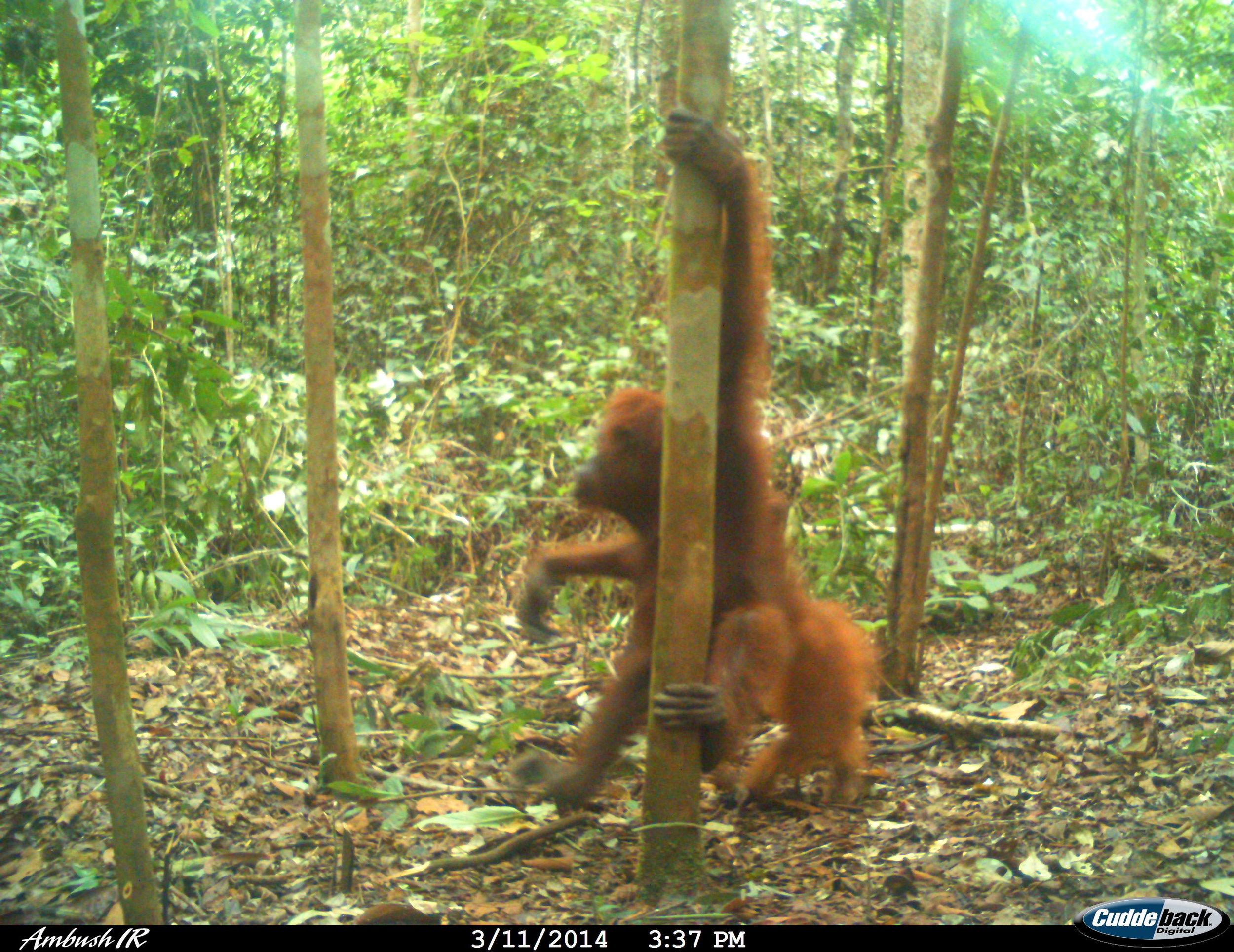 Orangutan Belantikan (5)