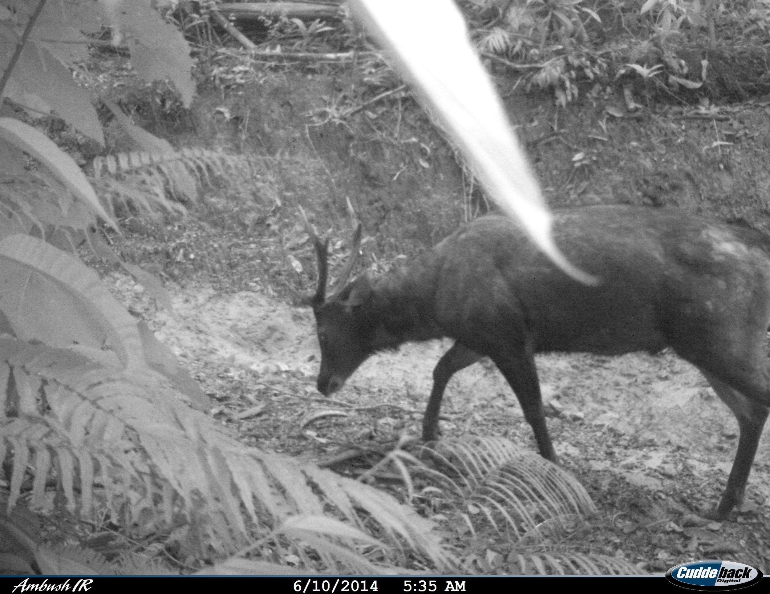 Sambar deer Belantikan (26)