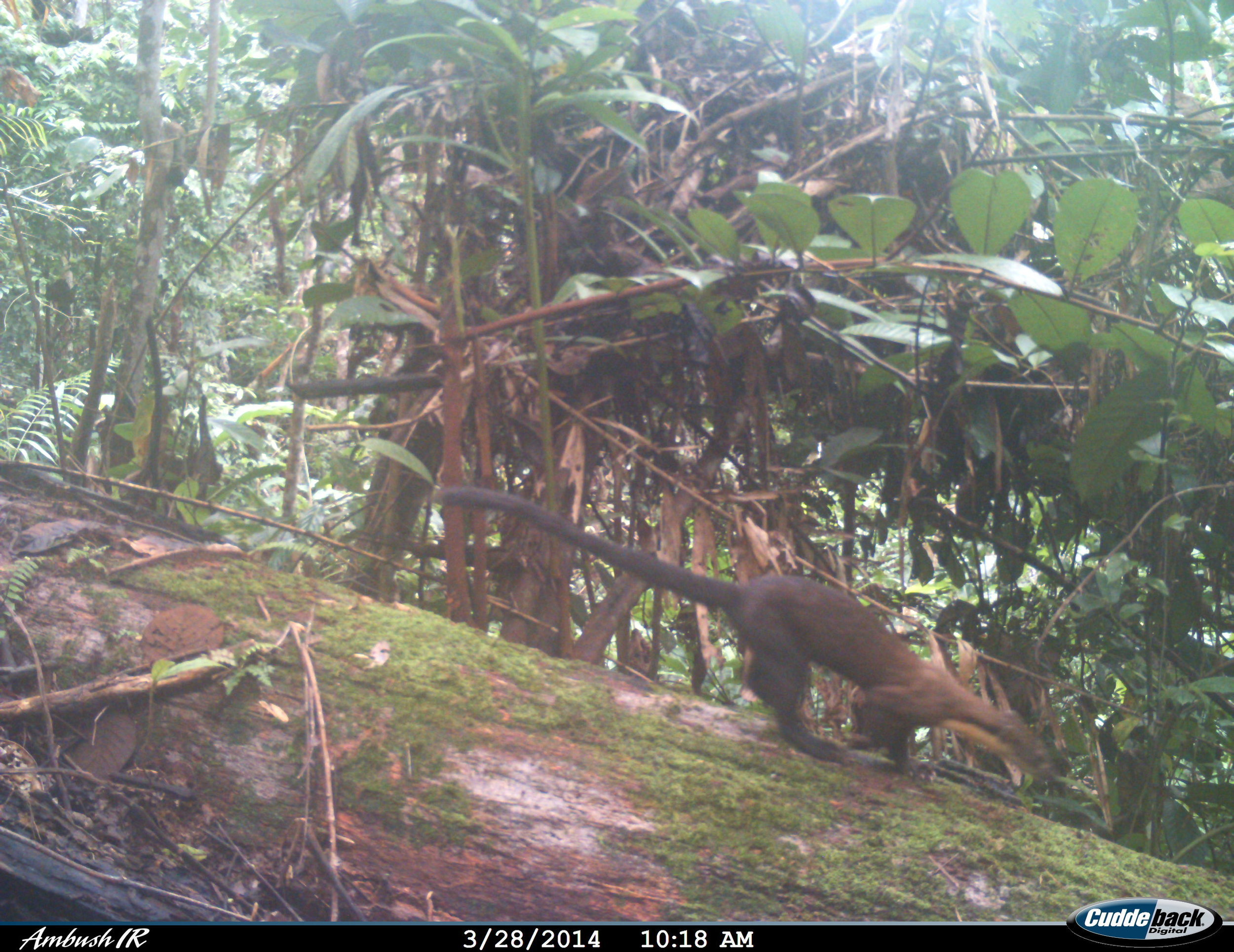 Yellow-throated marten Belantikan (3)