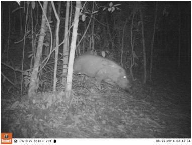 Babi hutan (Sus barbatus)