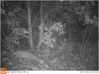 Musang (Viverra tangalunga)