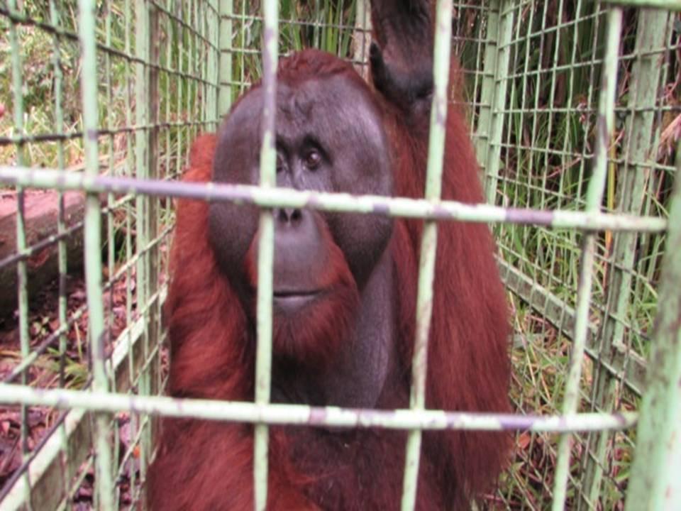 raja cage